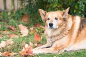 Dog lying on the grass with autumn leaves — Foto de Stock