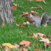 Brown squirrel eating — Foto de Stock