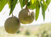 芒果树上 — 图库照片