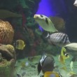 Coral reef featuring great variety of fish — Stock Video #63033729
