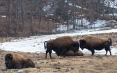 Wood Bison Head to Head — Stock Photo