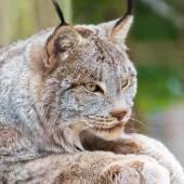 Close up of the Canadian lynx — Stock Photo