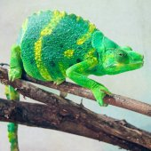 Beautiful and exotic green chameleon — Stock Photo