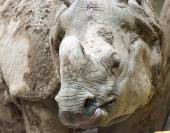 Indian or Java Rhinoceros Close Up — Stock Photo