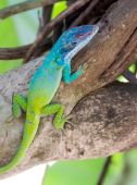 Cuban Knight Anole or Cuban Chameleon — Stockfoto