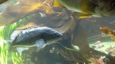 Motion of fish underwater inside fishtank — Stock Video