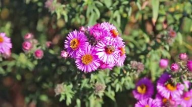 Macro pink flowers and bee — Video Stock