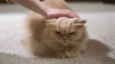 Woman tickling cat's head — Stock Video