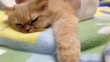 睡猫波斯语的宏 — 图库视频影像