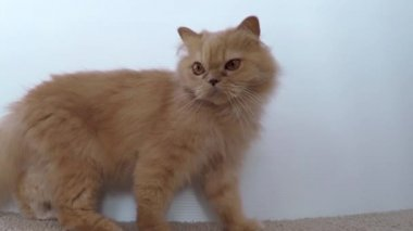 Close up jumping persian cat with wide angle shot — Stock Video