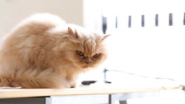 Persian cat resting on table wide aperture lens shot — Video Stock