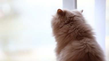 Close up persian cat looking outside view of window — Stock Video