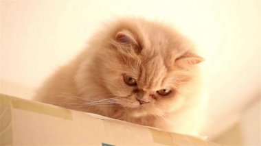 Persian cat playing toy with people — Stock Video