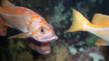 Motion of fish underwater inside fishtank — Stock Video