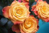 Rain rose — Stock Photo