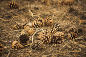 Pine cones on woodland floor — Stock Photo