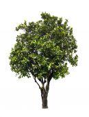 Tabebuia Pallida tree — ストック写真