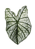 Green stripe leaf of Colocasia isolated  — Stock Photo