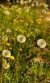 Dandelion field - Taraxacum sp — Stock Photo