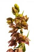 Wild orchid flowers - Epipactis lusitanica — Stock Photo