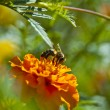 Bee on marigold — Stock Photo #66079087