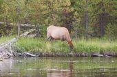 Large Elk Cow Feeding near river  — Stock Photo