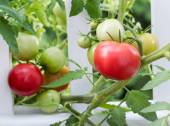 Homegrown tomatoes on white fence  — Stock Photo
