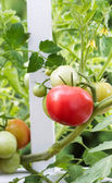 Home garden tomatoes on white fence starting to ripen — Stock Photo