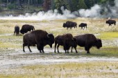 Family of North American Buffalo near the hot springs in Yellows — Stock Photo