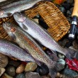 Trout Spilling out of Creel — Stock Photo #60291849