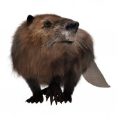 Beaver on White — Stock Photo