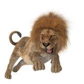 Hunting Lion — Stock Photo
