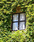 House with windows covered with ivy — Stock Photo