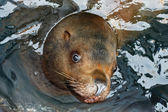 Portrait Steller Sea Lion (Eumetopias jubatus) — Stock Photo