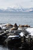 Rookery Steller Sea Lion or Northern Sea Lion. Kamchatka, Avacha Bay, Petropavlovsk-Kamchatsky — Stockfoto