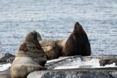 Steller Sea Lion or Northern Sea Lion. Kamchatka — Stock Photo