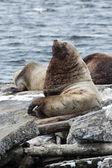 Northern Sea Lion or Steller Sea Lion on Kamchatka — Stock Photo