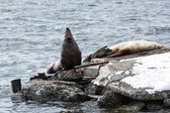 Rookery Steller Sea Lion or Northern Sea Lion. Avachinskaya Bay, Petropavlovsk-Kamchatsky — Stock Photo