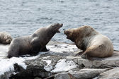 Rookery Northern Sea Lion or Steller Sea Lion. Kamchatka Peninsula, Avacha Bay — Stock Photo