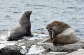 Rookery Northern Sea Lion or Steller Sea Lion. Kamchatka Peninsula — Stock Photo