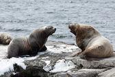 Rookery Northern Sea Lion or Steller Sea Lion. Kamchatka Peninsula, Avachinskaya Bay — Stock Photo