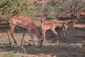 Impala family — Stock Photo