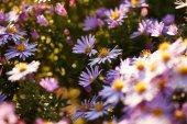 Vackra lila blommor — Stockfoto