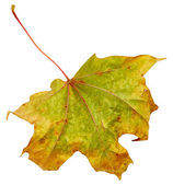 Maple autumn leaf — Stock Photo