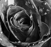 Rosa rossa con gocce d'acqua — Foto Stock