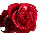 Red rose with drops of water — Stock Photo