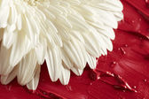 White gerbera flower in red paint — Stock Photo