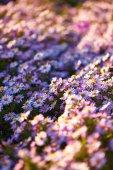 Beautiful purple flowers — Stock Photo