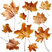 Maple autumn leaves — Stock Photo