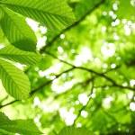 Chestnut tree leaves — Stock Photo #76003031